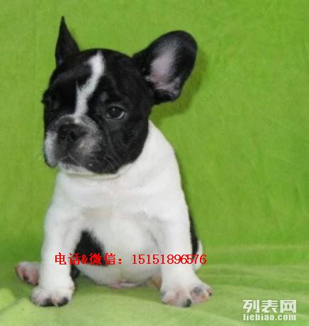 淄博哪里卖的法国斗牛犬便宜 淄博哪里有纯种的斗牛犬出售