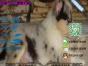 有没有卖带血统的苏格兰牧羊犬要包健康包纯种的