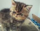 出售加菲猫 英短