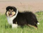 冠军级血系苏牧宝宝低价出售购买可正规购犬签订协议