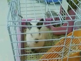 喜马拉雅侏儒兔转卖