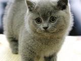 山西大同猫舍直销矮脚幼猫特价处理