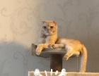 出售自家繁殖英短蓝猫,蓝乳宝宝