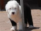 古代牧羊犬 白头通背四脚踏雪幼犬待售 签合同保健康