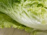 天津自产基地优质绿色生菜纯天然有机蔬菜沙拉生菜叶新鲜蔬菜批发