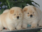 出售松狮幼犬胖嘟嘟非常可爱 公母均有