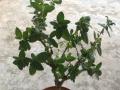 金银花盆栽盆景
