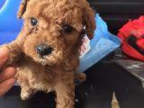 泰迪幼犬纯种泰迪保健康 全国包邮