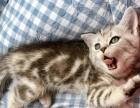 自家生美短立耳奶猫找新家