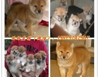 世界上最忠诚柴犬小狗 高品质日本柴犬宝宝 疫苗已做