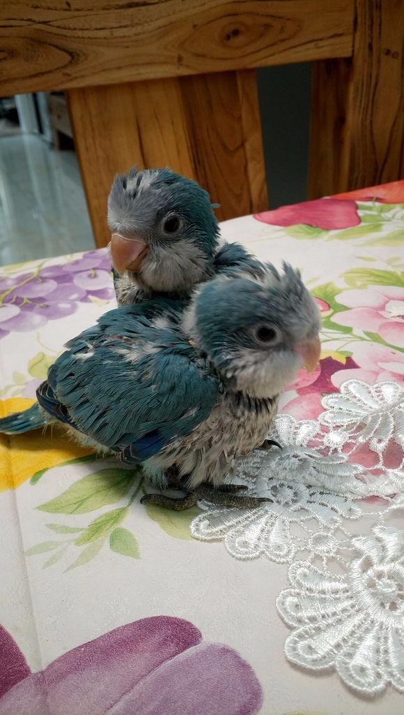 转让人工繁殖手养蓝和尚鹦鹉幼鸟