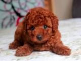 正规犬舍繁殖泰迪等名犬 健康保障签协议包活可送货