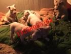 3-4个月杜高犬的价格图片