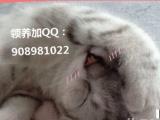 3个月奶白色苏格兰折耳,无偿领养,惊讶猫有木有