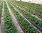 草莓采摘了!四季美生态庄园的无公害草莓熟了,可以采摘了!