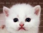 银点英短短毛猫银渐层纯种宠物猫咪活体幼猫包健康包送