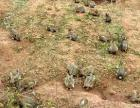 养殖杂交野兔