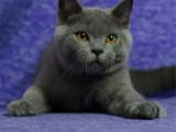上海普陀純種包子臉藍貓優惠出售