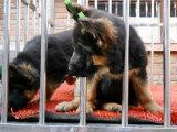 适合家庭饲养德国牧羊犬多少钱 要纯一点的