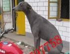 吐鲁番哪里有卖抓野鸡打野兔猎犬的纯种格力犬多少钱