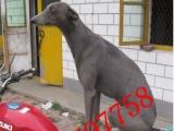 柳州哪里有卖格力犬的纯种格力犬多少钱一只