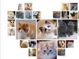 本地貓舍出售高品質貓貓包健康包純種支持送貓上門