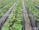 太空草莓苗预定2008新品种增产早熟果大于鸡蛋