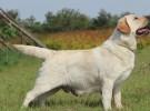 出售拉布拉多犬 拉拉幼犬 品质好 质量保证