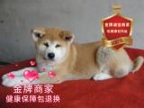 精品繁殖日系秋田幼犬 帥氣溫順包健康包純種可自提