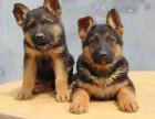 各种品相的德国牧羊犬都有的/当天全款包邮/好狗价不