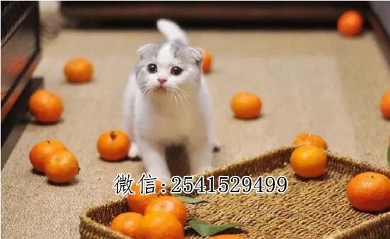 扬州哪里有宠物店 扬州哪里卖折耳猫 纯种折耳猫最低多少钱一只