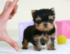 哪里有卖约克夏约克夏多少钱约克夏图片约克夏幼犬