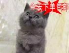 猫舍火爆出售温顺宠物小猫咪俄罗斯蓝猫包健康当天包邮