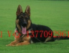 高品纯种黑背德牧幼犬出售中,终身质保,质量三包,健康纯种