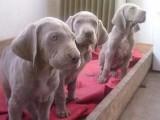 具有独特灰色和贵族气质魏玛犬幼犬出售 深受捕猎家喜爱