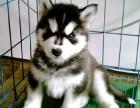 保障 犬舍繁殖阿拉斯加 包纯种健康养活 送货上门