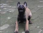 正规马犬繁殖与训练基地 高端精品双血统马犬火热预定中看狗