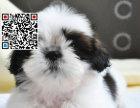哪里出售西施犬 纯种西施犬多少钱