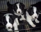 石家庄出售包健康纯种 边境牧羊犬幼犬 当面检测犬瘟细小