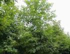 卜集苗木价格红枫、高杆女贞、鸡爪槭、五角枫、香椿树