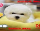 火热直销中纯种比熊幼犬 棉花糖比熊幼犬 活体