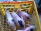 宠物猪价格巴马香猪种猪养殖场