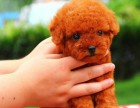 温州狗场直销泰迪哈士奇金毛萨摩耶秋田德牧阿拉斯加等各种名犬