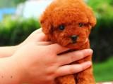 昆明哪有泰迪犬卖 昆明泰迪犬价格 昆明泰迪犬多少钱