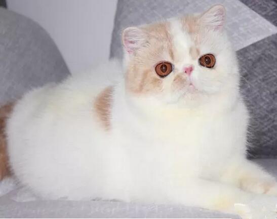 新乡哪里卖的加菲猫比较便宜 新乡哪里能买到便宜加菲猫