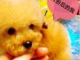 转让/出售玩具泰迪熊贵宾犬