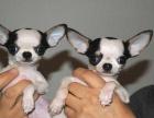 西安长期出售高端吉娃娃犬 特价直销 健康质保 欢迎选购
