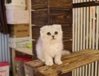 广州哪卖纯种折耳猫便宜广州宠物店折耳猫多少钱一只