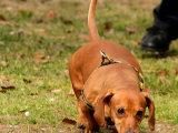 出售纯种大身躯长身短腿标准腊肠幼犬 上门多只挑选