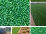 张家口绿化草坪销售 张家口公园草坪价格 张家口小区草坪厂家